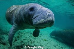 Did you say cow? A manatee at the central Florida's Cryst... by Douglas Klug 